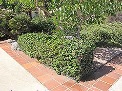 Boxwood Beauty Natal Plum (Carissa macrocarpa 'Boxwood Beauty') at Roger's Gardens