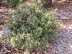 Rosemary Grevillea (Grevillea rosmarinifolia) at Roger's Gardens