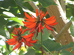 Coast Coral Tree (Erythrina caffra) at Roger's Gardens