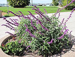 Midnight Mexican Sage (Salvia leucantha 'Midnight') at Roger's Gardens