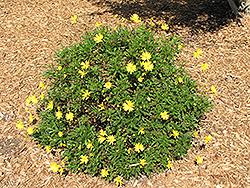 Green Leafed Euryops (Euryops pectinatus 'Viridis') at Roger's Gardens