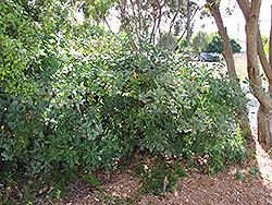 Wheeler's Dwarf Mock Orange (Pittosporum tobira 'Wheeler's Dwarf') at Roger's Gardens