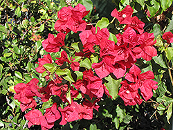 San Diego Red Bougainvillea (Bougainvillea 'San Diego Red') at Roger's Gardens