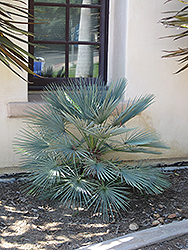 Blue Mediterranean Fan Palm (Chamaerops humilis var. cerifera) at Roger's Gardens