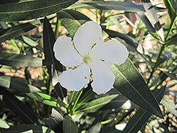 Sister Agnes Oleander (Nerium oleander 'Sister Agnes') at Roger's Gardens