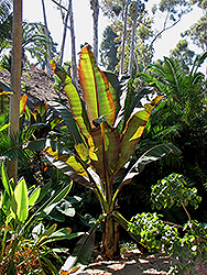 Darjeeling Banana (Musa sikkimensis) at Roger's Gardens