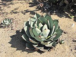 Palmer's Agave (Agave palmeri) at Roger's Gardens