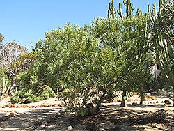 Common Sugarbush (Protea repens) at Roger's Gardens
