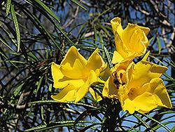 Giant Thevetia (Thevetia thevetioides) at Roger's Gardens