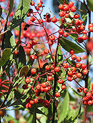 Tonyon (Heteromeles arbutifolia) at Roger's Gardens