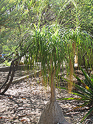 Pony Tail Palm (Beaucarnea recurvata) at Roger's Gardens
