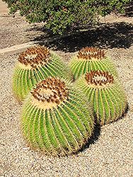 Golden Barrel Cactus (Echinocactus grusonii) at Roger's Gardens