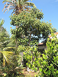 Yellow African Tulip Tree (Spathodea campanulata 'Aurea') at Roger's Gardens