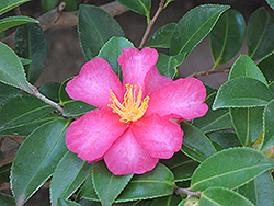 Kanjiro Camellia (Camellia sasanqua 'Kanjiro') at Roger's Gardens