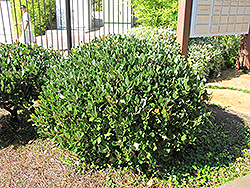 Japanese Mock Orange (Pittosporum tobira) at Roger's Gardens