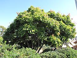 Golden Rain Tree (Koelreuteria elegans) at Roger's Gardens
