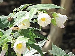 White Flowering Maple (Abutilon x hybridum 'Albus') at Roger's Gardens