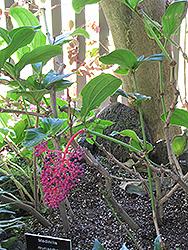 Malaysian Grapes (Medinilla myriantha) at Roger's Gardens