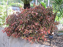 Inferno Copper Plant (Acalypha wilkesiana 'Inferno') at Roger's Gardens
