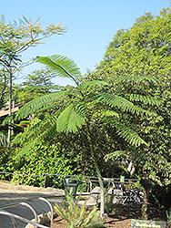 Brazilian Fern Tree (Schizolobium parahybum) at Roger's Gardens