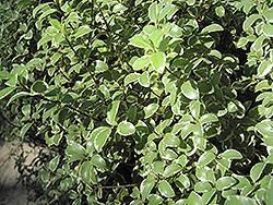 Variegated Kohuhu (Pittosporum tenuifolium 'Variegatum') at Roger's Gardens