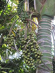 Kentia Palm (Howea forsteriana) at Roger's Gardens