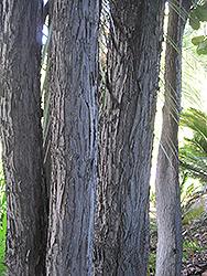 Fiddle Leaf Fig (Ficus lyrata) at Roger's Gardens
