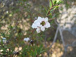 Snow Flake Tea-Tree (Leptospermum scoparium 'Snow Flake') at Roger's Gardens