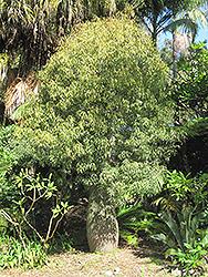 Queensland Bottle Tree (Brachychiton rupestris) at Roger's Gardens