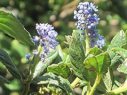 Concha California Lilac (Ceanothus 'Concha') at Roger's Gardens