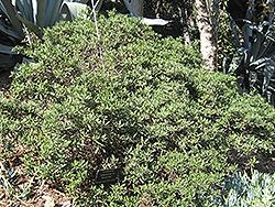 Dark Star California Lilac (Ceanothus 'Dark Star') at Roger's Gardens