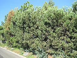 Aleppo Pine (Pinus halepensis) at Roger's Gardens