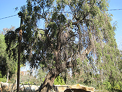 Peppermint Tree (Agonis flexuosa) at Roger's Gardens