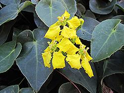 Orchid Vine (Stigmaphyllon ciliatum) at Roger's Gardens