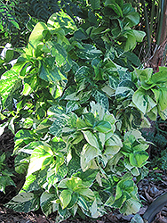 Java White Copper Plant (Acalypha wilkesiana 'Java White') at Roger's Gardens