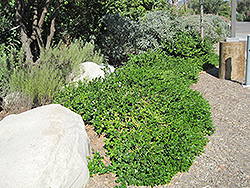 Green Carpet Natal Plum (Carissa macrocarpa 'Green Carpet') at Roger's Gardens