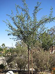 Phoenix Mesquite (Prosopis 'Phoenix') at Roger's Gardens