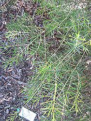 Geraldton Waxflower (Chamelaucium uncinatum) at Roger's Gardens