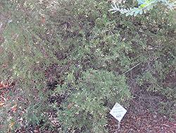 Woolly Grevillea (Grevillea lanigera) at Roger's Gardens