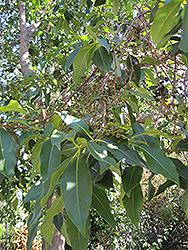 Brisbane Box (Lophostemon confertus) at Roger's Gardens