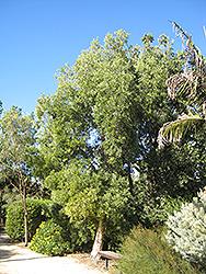 River Tea Tree (Melaleuca quinquenervia) at Roger's Gardens