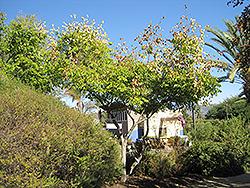 Chinese Flame Tree (Koelreuteria bipinnata) at Roger's Gardens