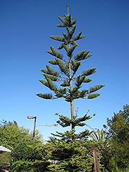 Norfolk Island Pine (Araucaria heterophylla) at Roger's Gardens