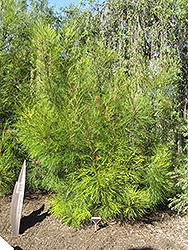 Long John Grevillea (Grevillea 'Long John') at Roger's Gardens