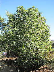 Bottle Tree (Brachychiton populneus) at Roger's Gardens