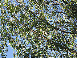 Australian Willow (Geijera parviflora) at Roger's Gardens