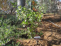 Dr. Hurd Manzanita (Arctostaphylos manzanita 'Dr. Hurd') at Roger's Gardens
