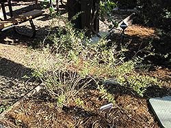Firecracker Island Snapdragon (Galvezia speciosa 'Firecracker') at Roger's Gardens