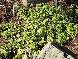 Diamond Heights California Lilac (Ceanothus griseus 'Diamond Heights') at Roger's Gardens