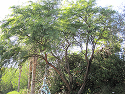 Western Honey Mesquite (Prosopis glandulosa var. torreyana) at Roger's Gardens